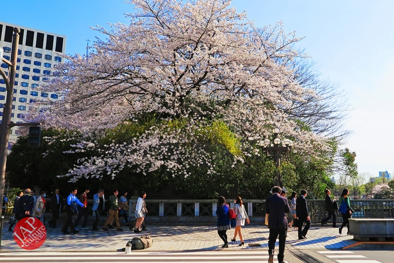 Truth of Japanese dirty reality under beautiful Sakura cherry blossom (11)
