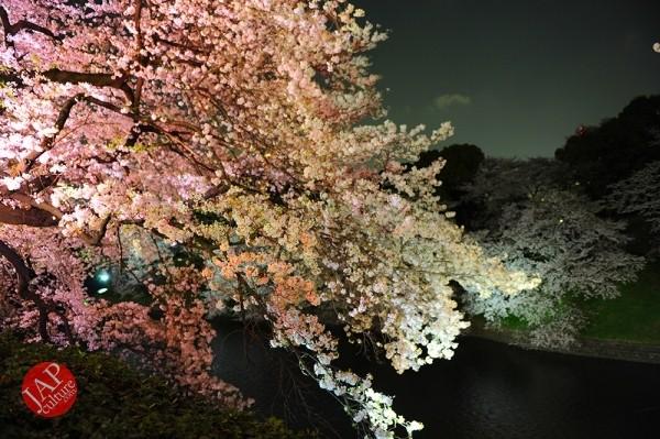 Chidorigafuchi Cherry blossom grove is lighted up at Night. It's amazing beauty. (1)