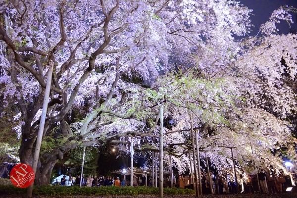 Weeping cherry tree (Shidarezakura) in Rikugien illumination attracts many people.0002