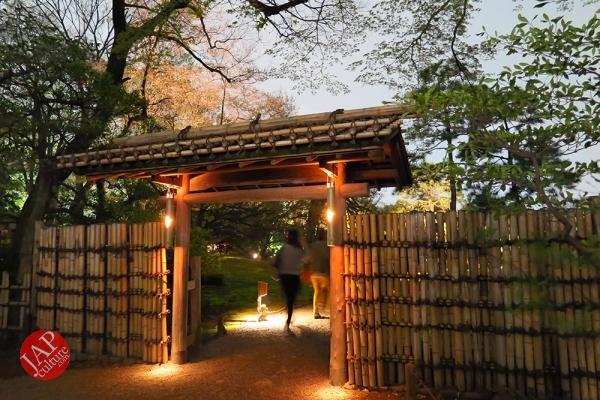 Weeping cherry tree (Shidarezakura) in Rikugien illumination attracts many people.0011