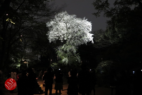 Weeping cherry tree (Shidarezakura) in Rikugien illumination attracts many people.0024