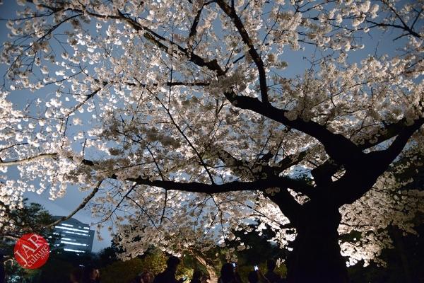 Weeping cherry tree (Shidarezakura) in Rikugien illumination attracts many people.0025