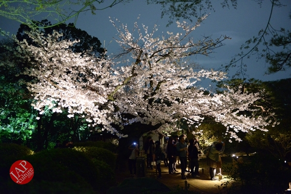 Weeping cherry tree (Shidarezakura) in Rikugien illumination attracts many people.0026