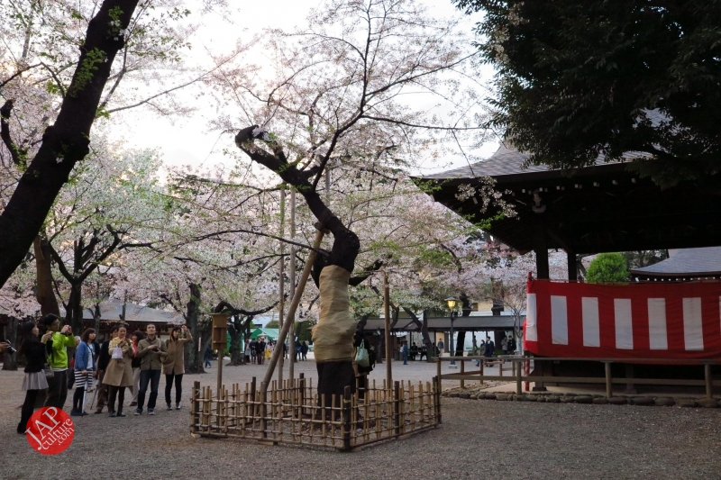 standard sakura tree in Yasukuni shrine