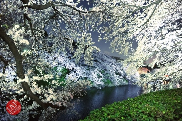 Photo of Chidorigafuchi Cherry blossom grove is lighted up  at Night, amazingly beautiful.