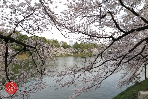 Sakura Best viewing, Imperial garden, Chidorigafuchi. 360 degree cherry blossom experience (6)