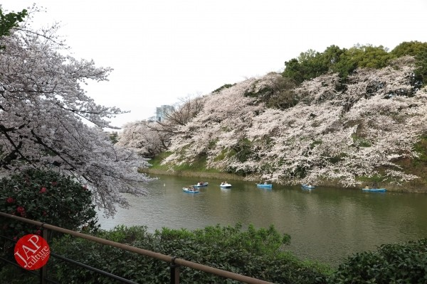 Sakura Best viewing, Imperial garden, Chidorigafuchi. 360 degree cherry blossom experience (1)