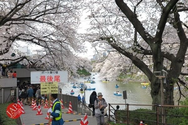 Sakura Best viewing, Imperial garden, Chidorigafuchi. 360 degree cherry blossom experience (28)