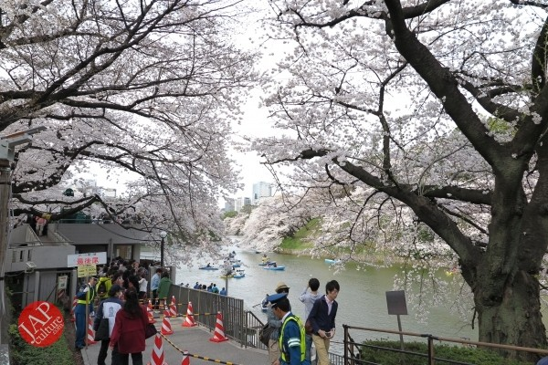 Sakura Best viewing, Imperial garden, Chidorigafuchi. 360 degree cherry blossom experience (27)