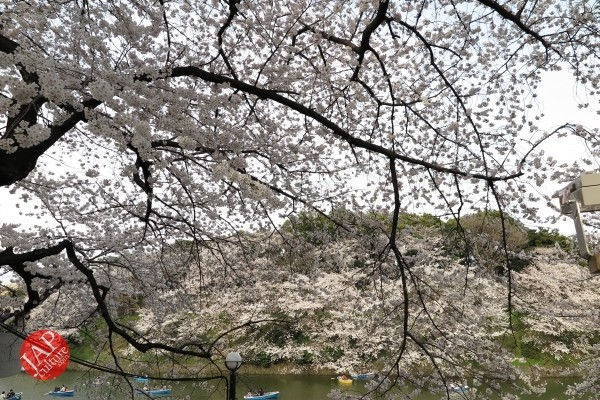 Sakura Best viewing, Imperial garden, Chidorigafuchi. 360 degree cherry blossom experience (26)