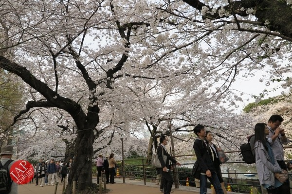 Sakura Best viewing, Imperial garden, Chidorigafuchi. 360 degree cherry blossom experience (24)