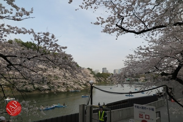 Sakura Best viewing, Imperial garden, Chidorigafuchi. 360 degree cherry blossom experience (23)