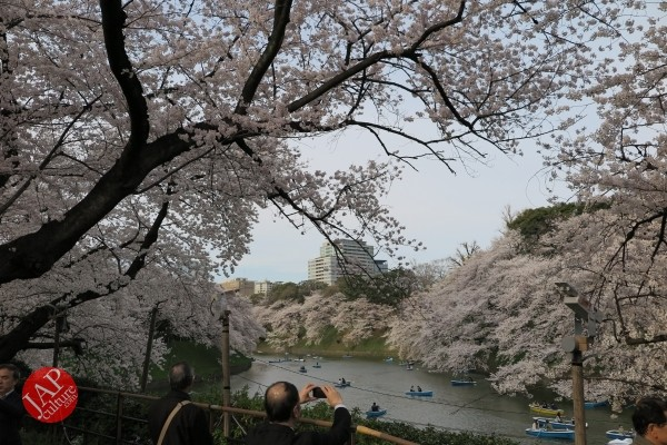 Sakura Best viewing, Imperial garden, Chidorigafuchi. 360 degree cherry blossom experience (22)