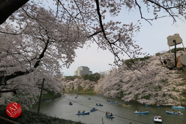 Sakura Best viewing, Imperial garden, Chidorigafuchi. 360 degree cherry blossom experience (21)