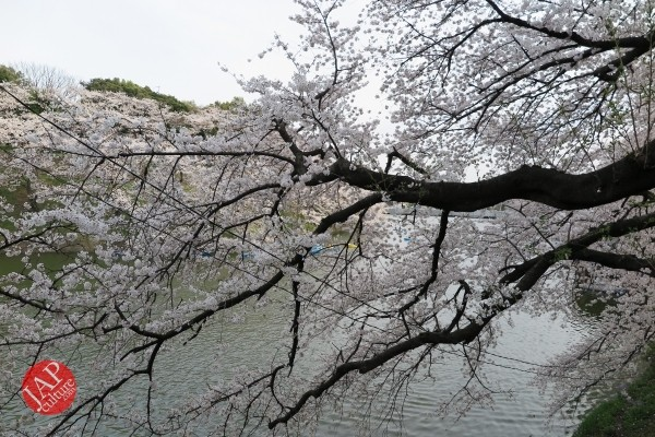 Sakura Best viewing, Imperial garden, Chidorigafuchi. 360 degree cherry blossom experience (18)