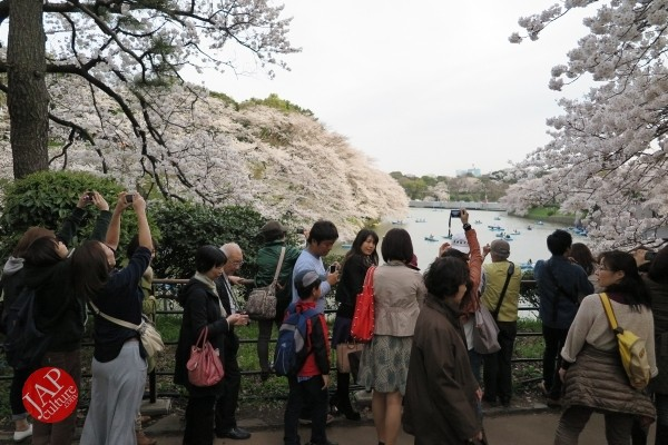 Sakura Best viewing, Imperial garden, Chidorigafuchi. 360 degree cherry blossom experience (15)