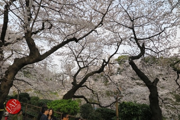 Sakura Best viewing, Imperial garden, Chidorigafuchi. 360 degree cherry blossom experience (14)