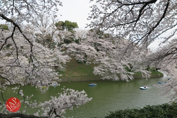 Sakura Best viewing, Imperial garden, Chidorigafuchi. 360 degree cherry blossom experience (13)