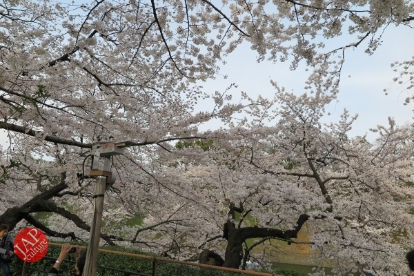 Sakura Best viewing, Imperial garden, Chidorigafuchi. 360 degree cherry blossom experience (12)
