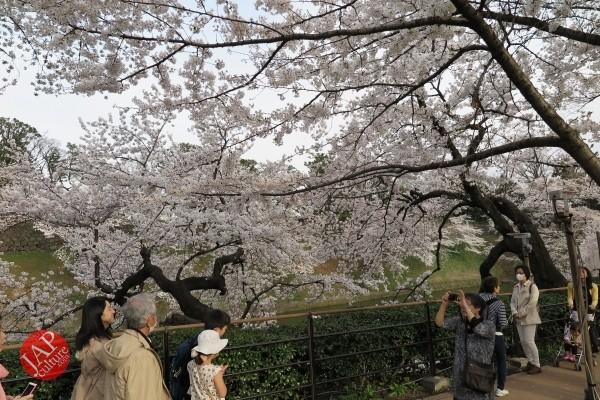 Sakura Best viewing, Imperial garden, Chidorigafuchi. 360 degree cherry blossom experience (11)