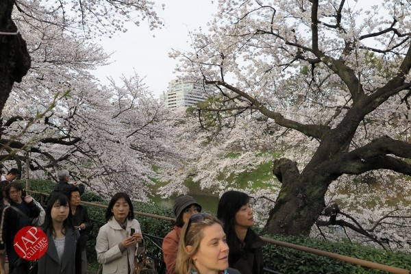 Sakura Best viewing, Imperial garden, Chidorigafuchi. 360 degree cherry blossom experience (10)