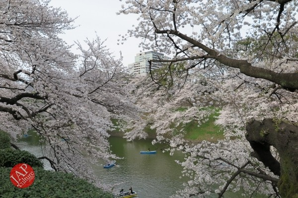 Sakura Best viewing, Imperial garden, Chidorigafuchi. 360 degree cherry blossom experience (9)