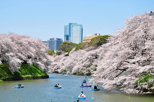 Photo of Sakura Best viewing, Imperial garden, Chidorigafuchi. 360 degree cherry blossom experience