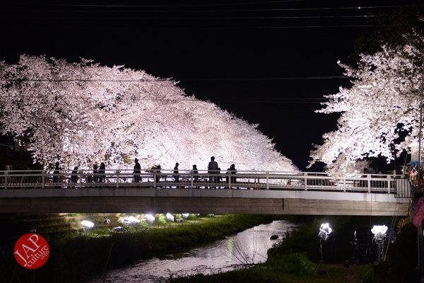 Photo of The most professional cherry blossoms illumination show & beautiful story @ Nogawa