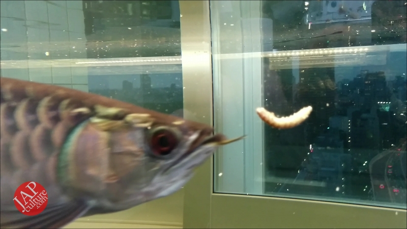 Photo of Arowana is popular as Yakuza hobby in Japan. it's symbol of strong, rich and good luck.