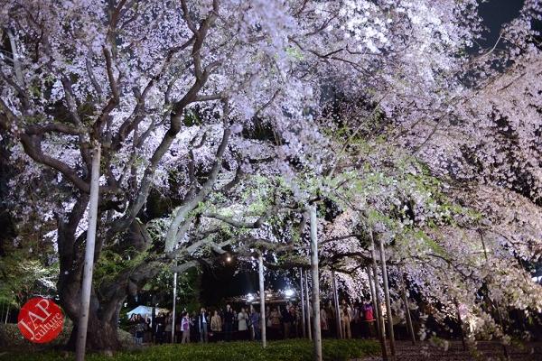 Weeping cherry tree (Shidarezakura) in Rikugien illumination attracts many people.0004