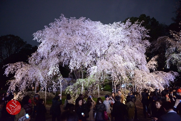 Photo of Weeping cherry tree (Shidarezakura) in Rikugien illumination attracts many people.