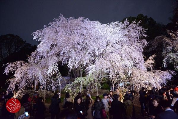Weeping cherry tree (Shidarezakura) in Rikugien illumination attracts many people.0005