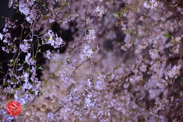 Weeping cherry tree (Shidarezakura) in Rikugien illumination attracts many people.0007