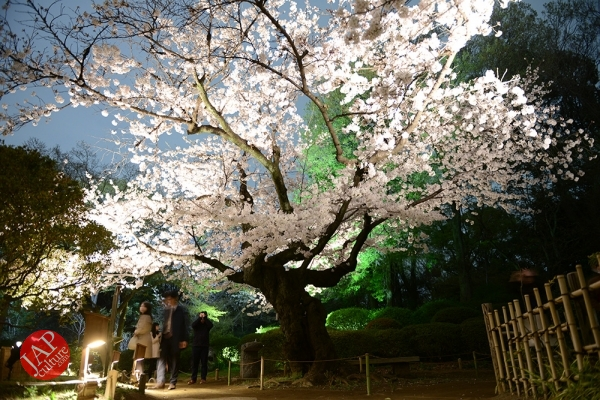 Weeping cherry tree (Shidarezakura) in Rikugien illumination attracts many people.0021