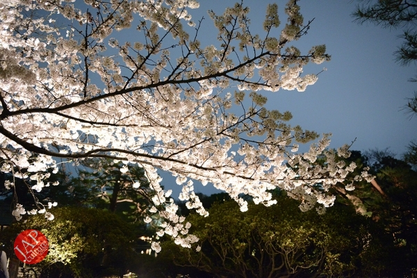 Weeping cherry tree (Shidarezakura) in Rikugien illumination attracts many people.0023