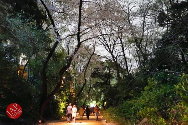 Weeping cherry tree (Shidarezakura) in Rikugien illumination attracts many people.0031